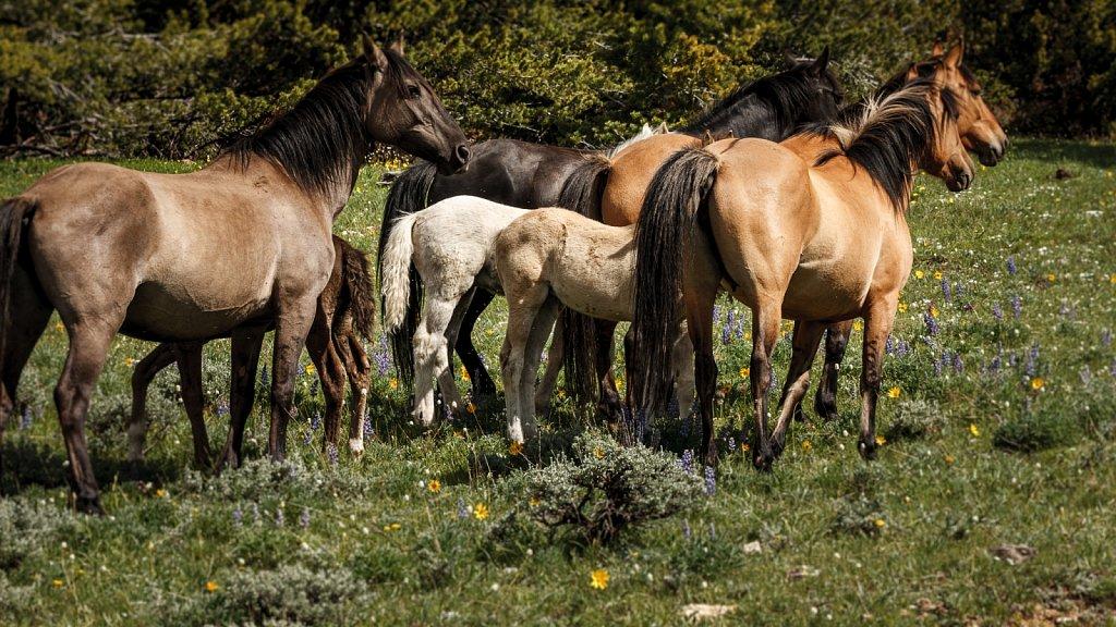 Wild Horses of Pryor Mountain