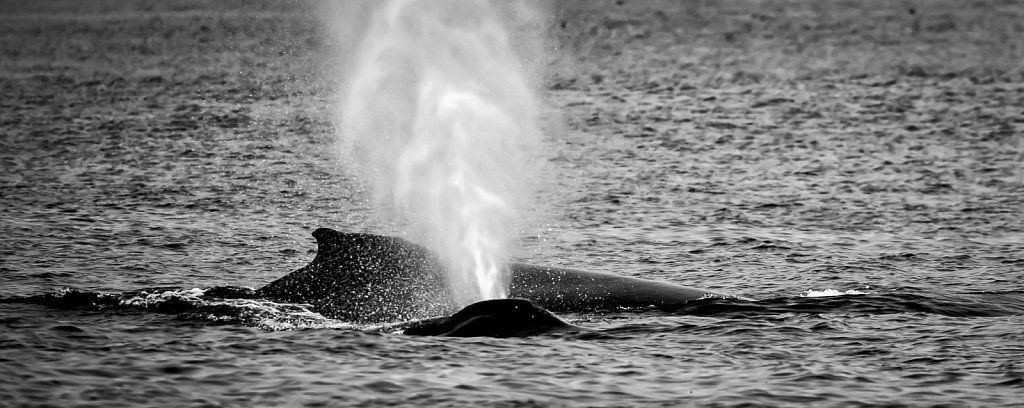 Humpbacks in Monterey Bay