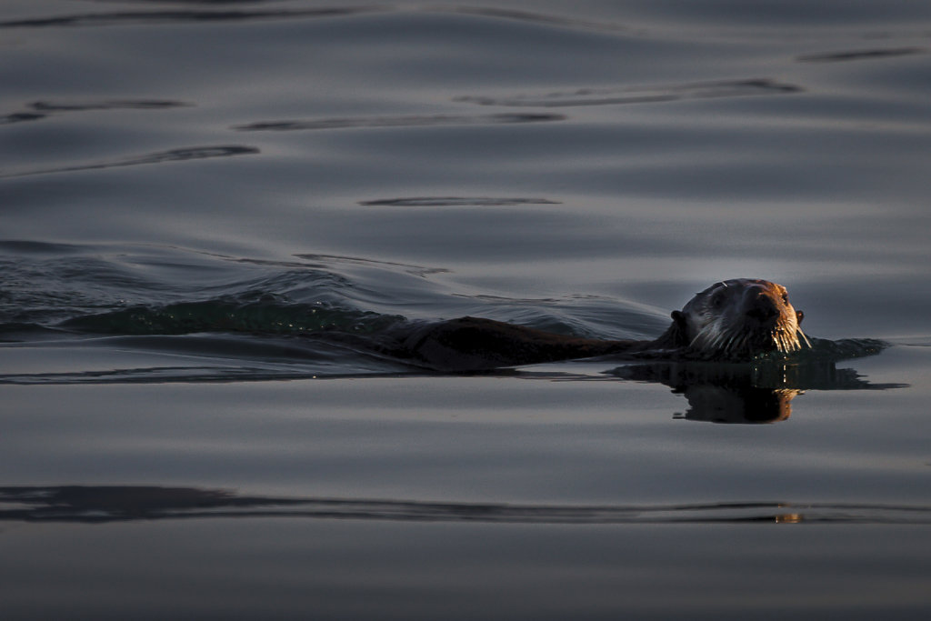 Sea Otter Along Port Wells, Prince William Sound