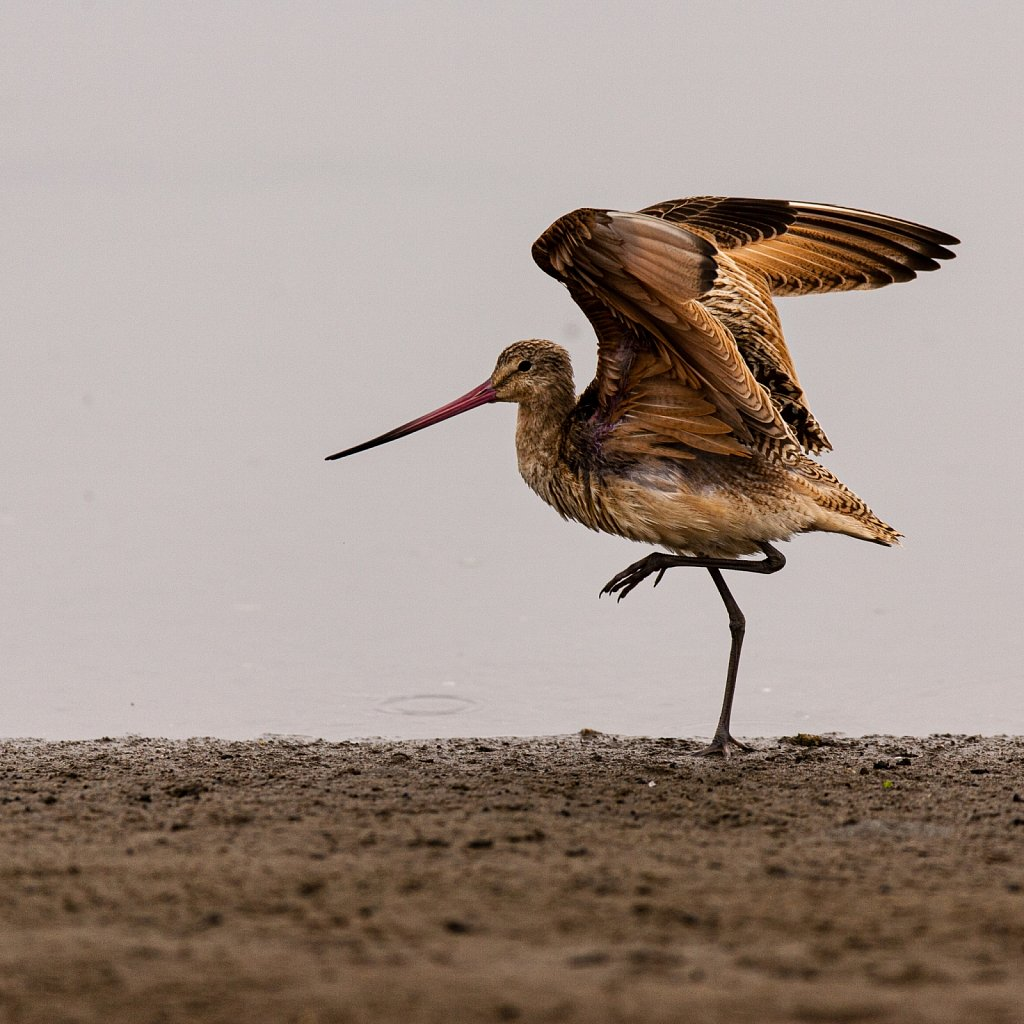 Whimbrel at Elkhorn Slew